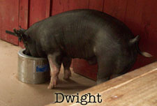 the-office-dwight-the-pig