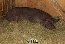 the-office-jim-the-pig